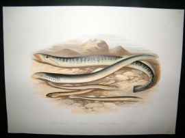 Houghton 1879 Folio Antique Fish Print. Sea Lamprey, Lampern, Pride